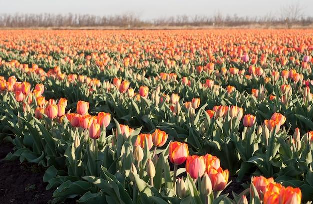 Feld der roten tulpen.