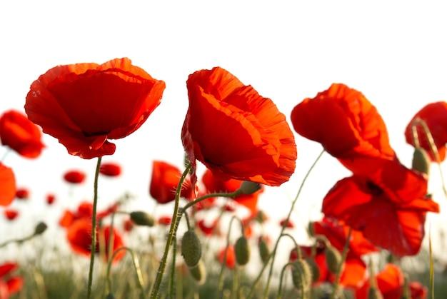Feld der schönen roten mohnblumen lokalisiert auf weiß