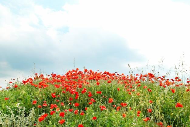 Feld der schönen roten mohnblumen mit grünem gras