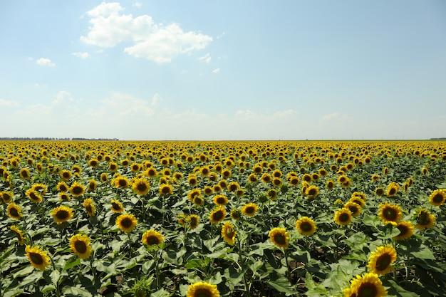 Feld der schönen sonnenblumen gegen himmel. sommernatur