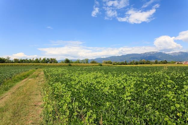 Feld der sojabohne mit bergen im hintergrund. italienische landwirtschaft. ländliche landschaft