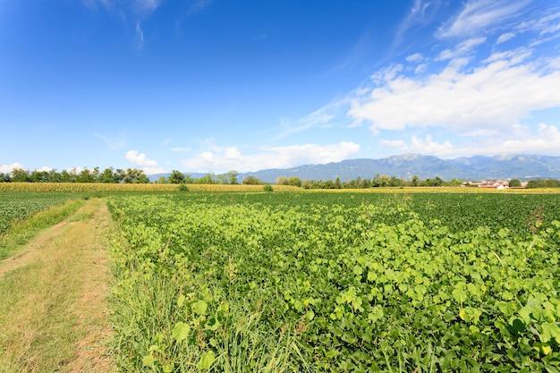 Feld der sojabohne mit bergen im hintergrund italienische landwirtschaft