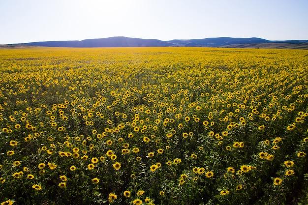 Feld der sonnenblume. luftaufnahme