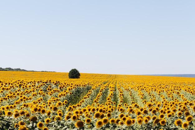 Feld der sonnenblumen im sommer.