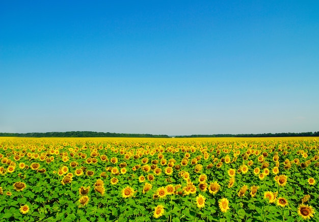 Feld der sonnenblumen und des blauen sonnenhimmels