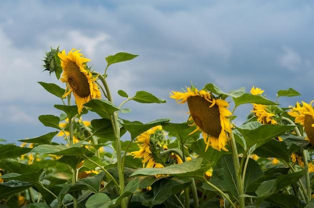 Feld der sonnenblumen und des himmels vor dem sturm