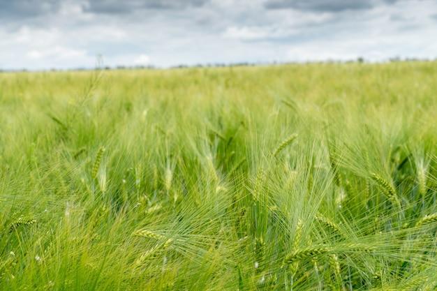 Feld der wachsenden grünen gerste mit vielen ährchen hautnah