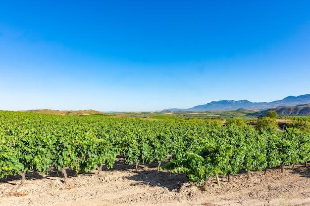Feld der weinberge, die in der sonne in la rioja reifen. spanien