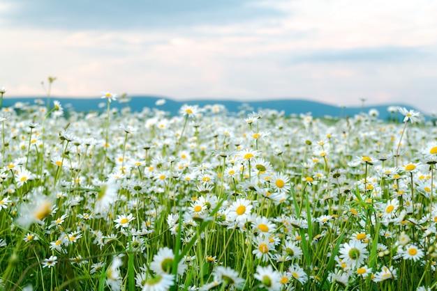 Feld der weißen gänseblümchen