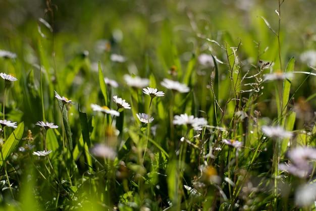 Feld der wilden gänseblümchen