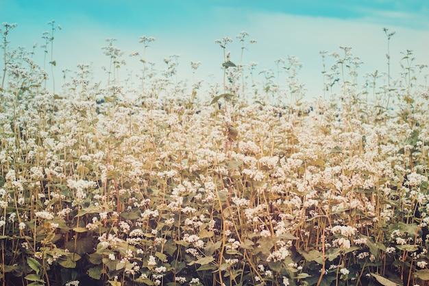 Feld des blühenden buchweizens. reife ernte. getönt
