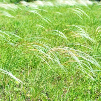 Feld des federgrases über grünem feldhintergrund