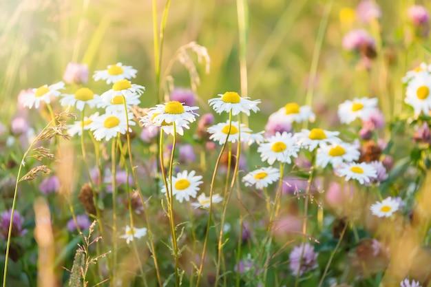 Feld des gänseblümchens blüht wilde kamillenblumen im sunligh