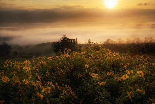 Feld des gelben mexikanischen sonnenblumen-weeds auf berg mit nebel und sonnenlicht am morgen bei thailand.