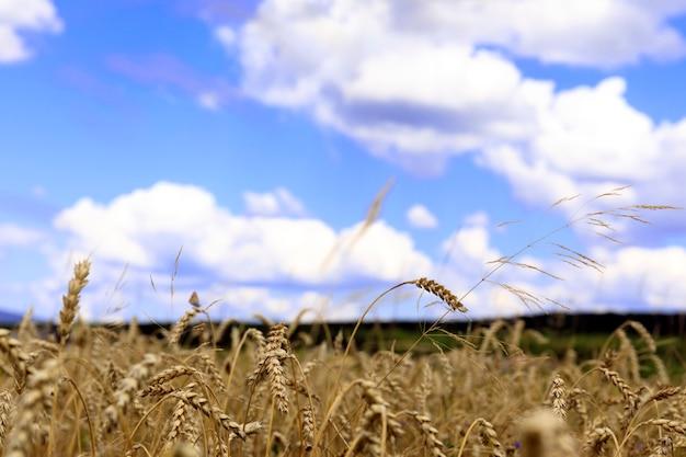 Feld des goldenen weizens unter dem blauen himmel und den wolken. reifer weizen am sonnenuntergang. ernte.