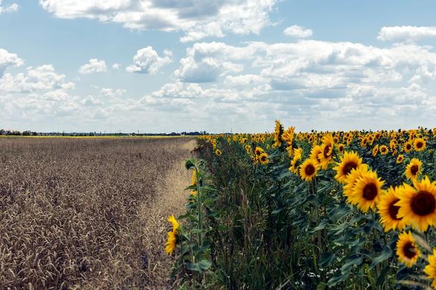 Feld des goldenen weizens unter dem blauen himmel und den wolken.