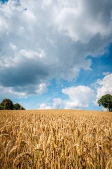 Feld des goldenen weizens unter dem blauen himmel und den wolken