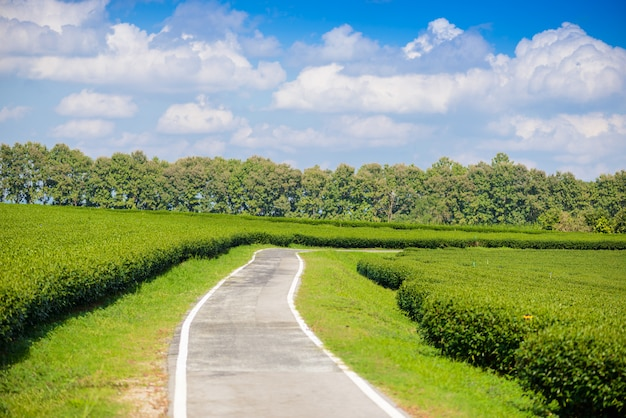 Feld des grünen tees mit blauem himmel