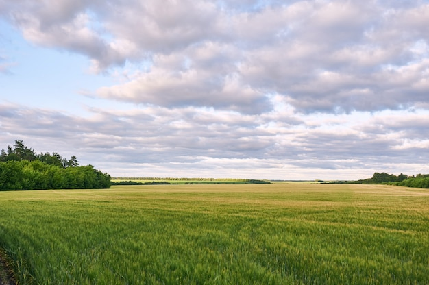 Feld des grünen weizens und des bunten sonnenuntergangs.