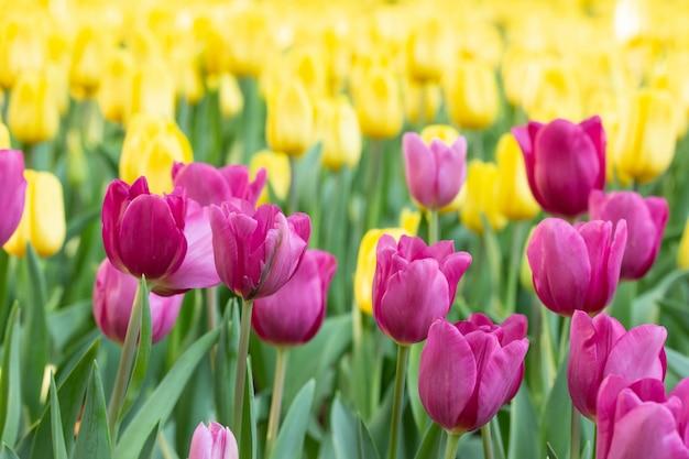 Feld des rosa und gelben tages der tulpen im frühjahr. bunte tulpen blühen im frühjahr blühenden blütengarten.