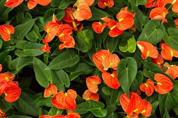 Feld des roten anthuriumblumenhintergrundes