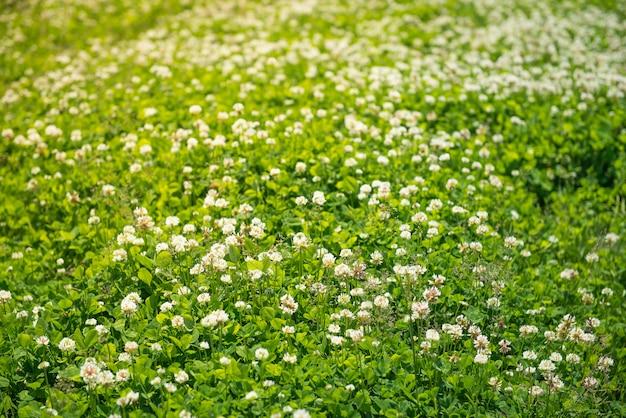Feld des weißkleehintergrundes. natur, umwelt, pflanzen thema.