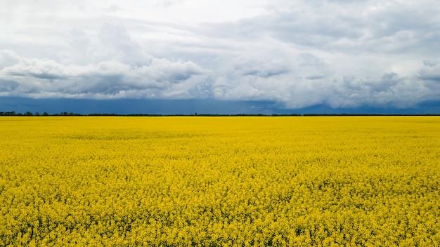 Feld gelb blühender raps mit blauem himmel