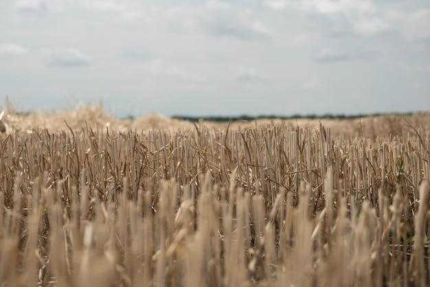 Feld mit abgeschrägtem weizen. das stroh steht aus dem boden