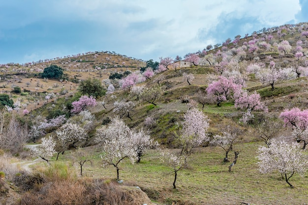 Feld mit blühenden mandelbäumen in der alpujarra