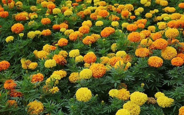 Feld mit blühenden orangefarbenen und gelben ringelblumen für hintergrund oder tapete