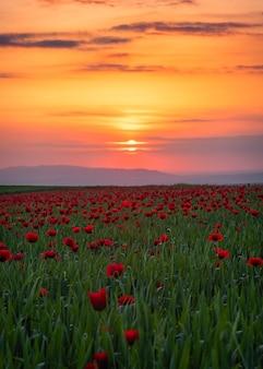 Feld mit blühenden roten mohnblumen bei sonnenuntergang