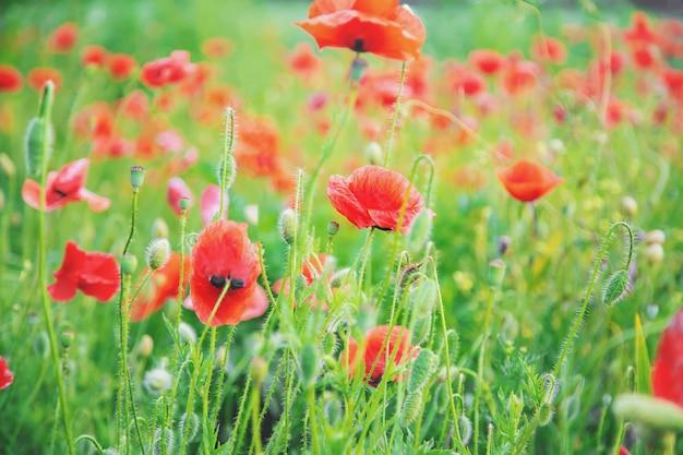Feld mit blühenden roten mohnblumen.