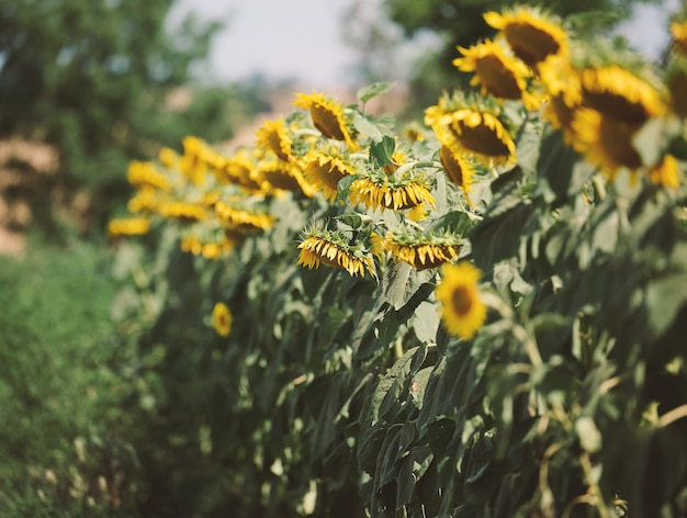 Feld mit blühenden sonnenblumen an einem sommertag, eine reihe von pflanzen