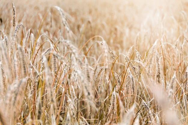 Feld mit den ährchen des weizens an einem sonnigen tag