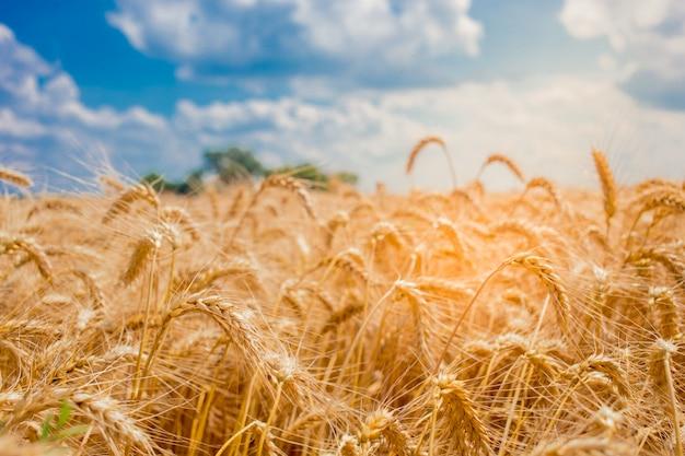Feld mit den ährchen des weizens und des blauen himmels