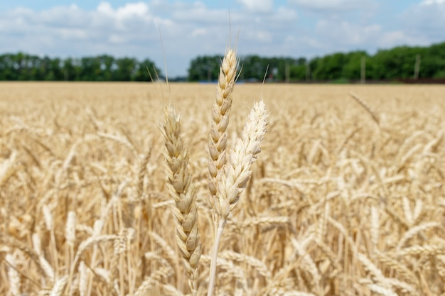 Feld mit den ohren des kornweizenabschlusses herauf das wachsen, landwirtschaft, die agronomie der ländlichen wirtschaft bewirtschaftet