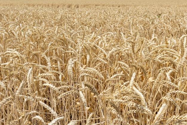 Feld mit den ohren des kornweizenabschlusses herauf das wachsen, landwirtschaft, die agronomiekonzept der ländlichen wirtschaft bewirtschaftet