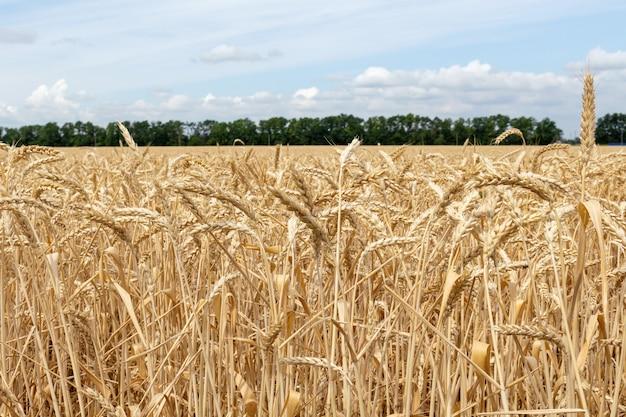 Feld mit den ohren des kornweizenabschlusses oben