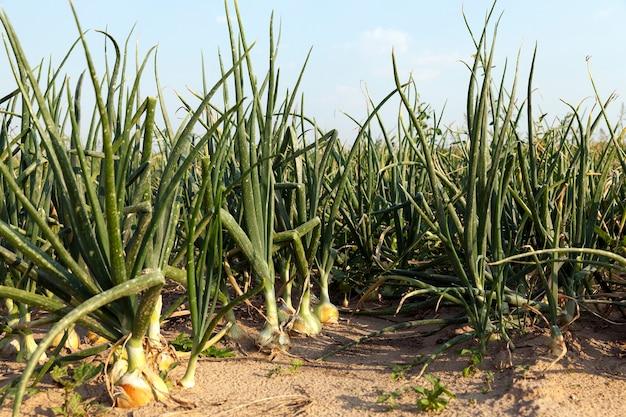 Feld mit frühlingszwiebeln - landwirtschaftliches feld, auf dem frühlingszwiebeln wachsen, sommer, august. zwiebel mit verschiedenen deffekt