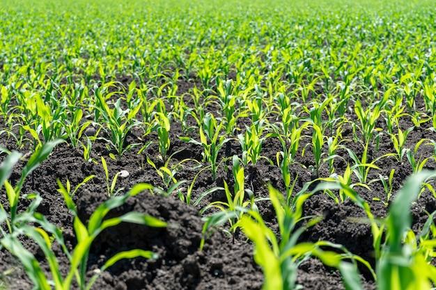 Feld mit grünen sprossen von jungem mais an einem sonnigen tag im frühling