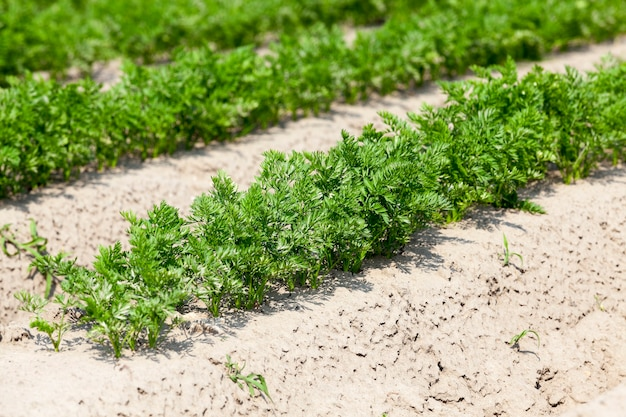 Feld mit karotten landwirtschaftliches feld, auf dem karotten wachsen. grüne pflanzenkarotten