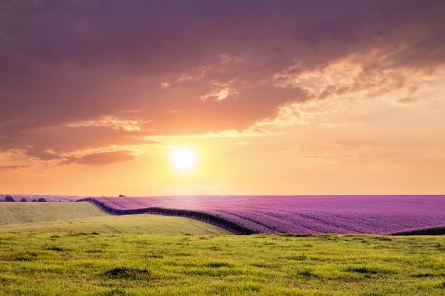 Feld mit lavendel und gras vor sonnenuntergang. dunkle dramatische wolken über dem feld während des sonnenaufgangs oder des sonnenuntergangs