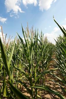 Feld mit mais - ein landwirtschaftliches feld, auf dem junger grüner mais wächst. unreifer mais