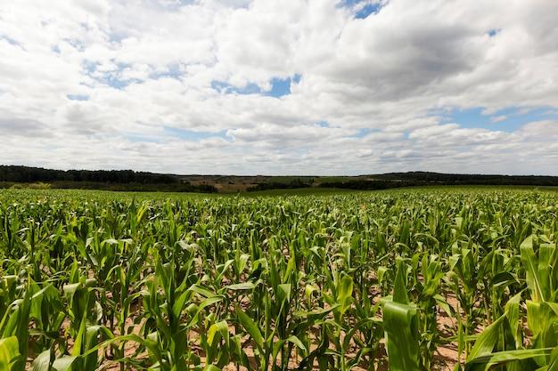 Feld mit mais - landwirtschaftliches feld, auf dem grüner mais wächst, der bald reift
