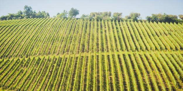 Feld mit olivenbäumen. schöne sommerlandschaft mit olivenbaumpanorama. reise nach italien. klassischer italienischer bauernhof. wachsen sie die ernte auf dem feld.