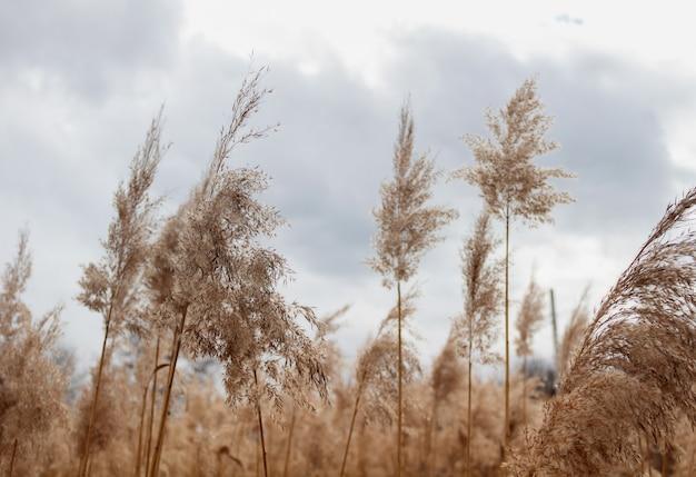 Feld mit pampasgras oder schilf bei bewölktem wetter