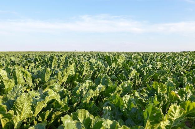 Feld mit rote beete - landwirtschaftliches feld, auf dem rüben wachsen, blauer himmel