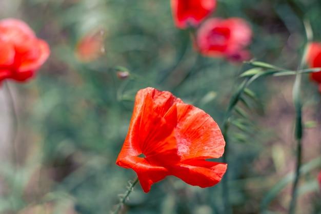 Feld mit roten mohnblumen im wind, unscharfer hintergrund, selektiver fokus. sommerblumenlandschaft.