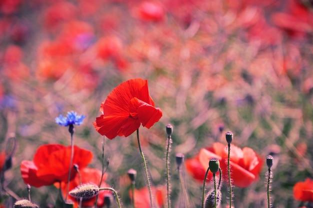 Feld mit roten mohnblumen und kornblumen