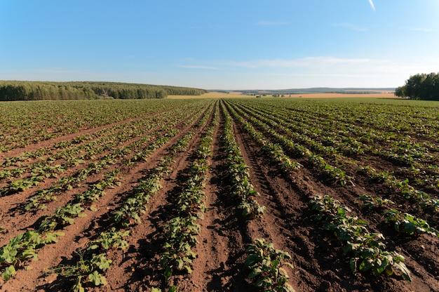 Feld mit roten rüben
